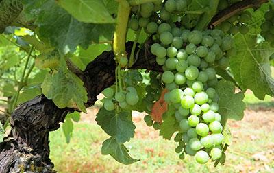 Vignoble du Domaine de la Vitrolle, vins de pays du Périgord