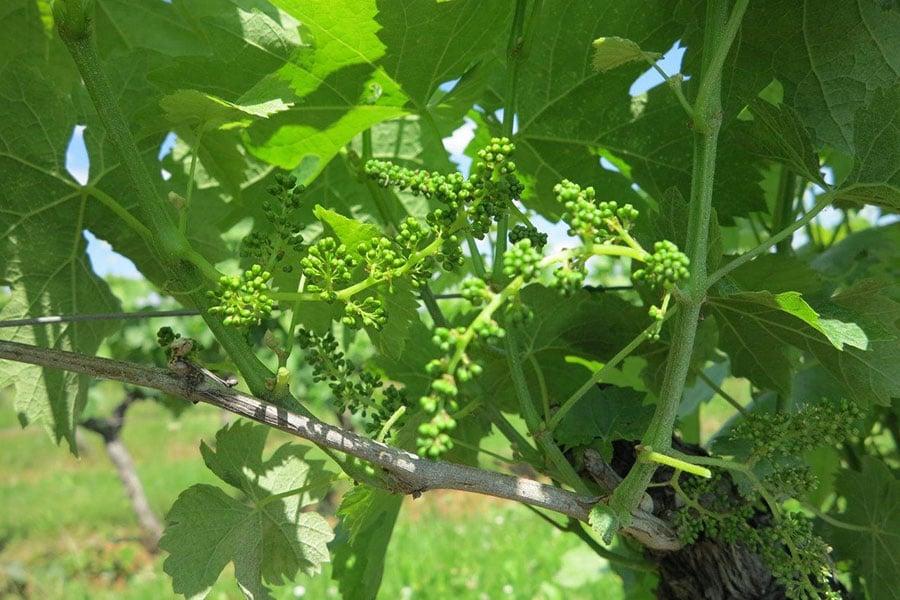 Raisins Domaine de la Vitrolle vin de pays du Périgord