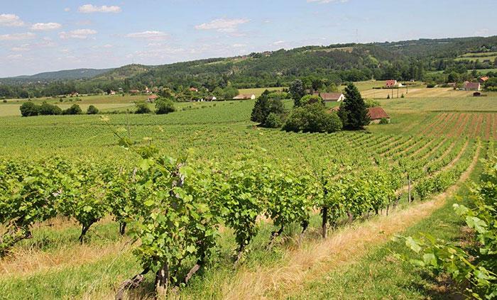 Vineyard of the Domaine de la Vitrolle - Wines of the Périgord region
